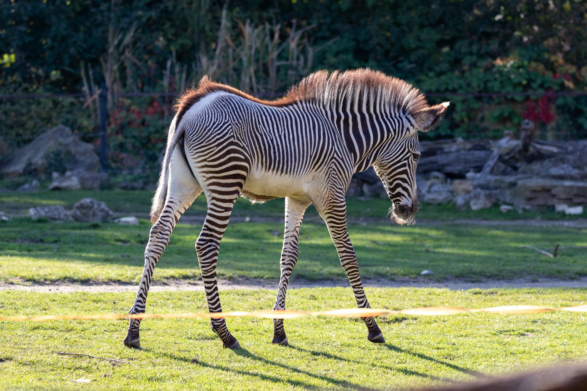 Grevy-Zebra