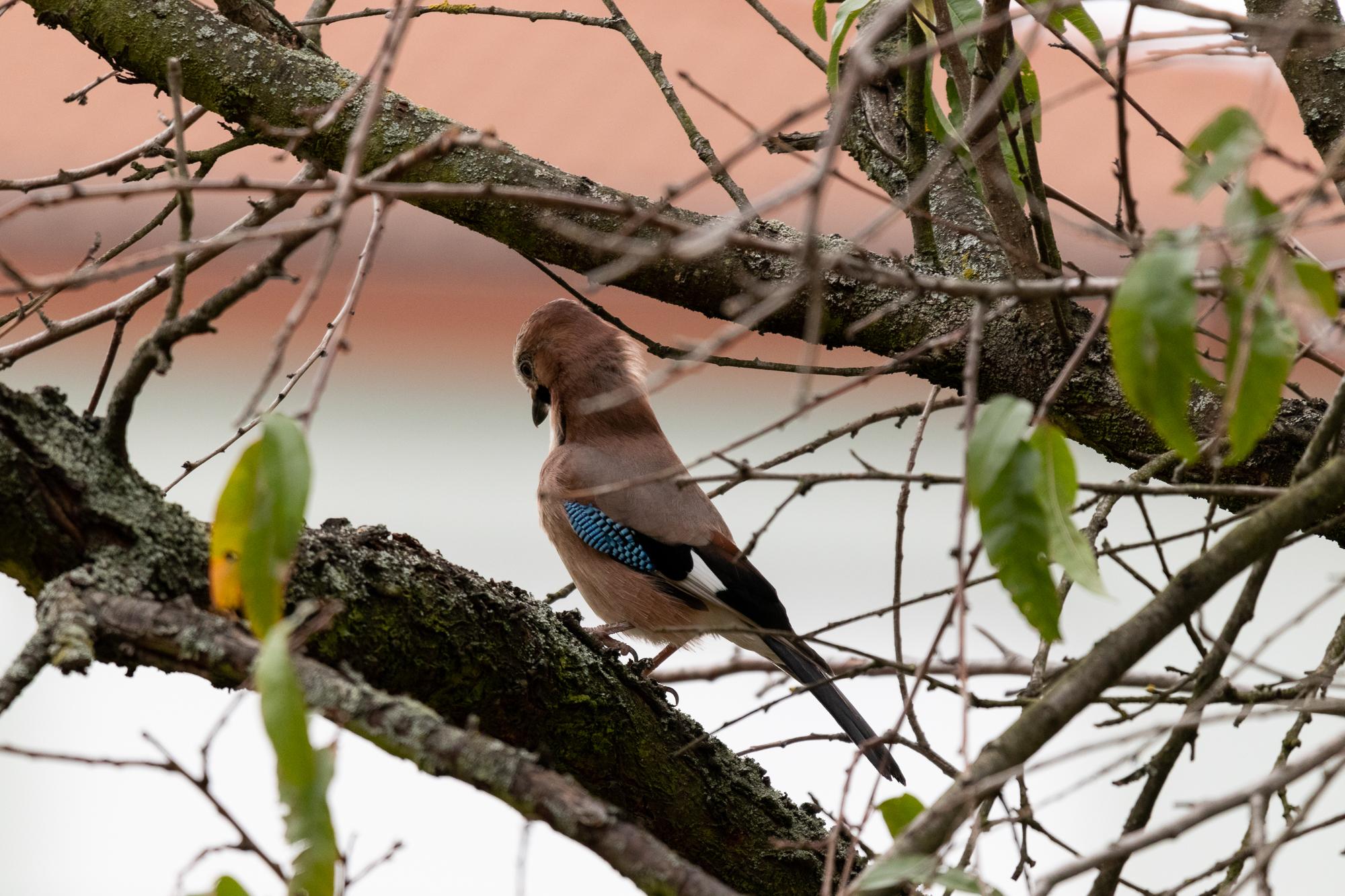 Eichelhäher auf dem Baum